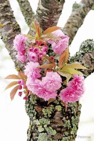 Paisagem Natural/Cerejeira do Japão