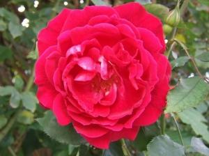 /Rosa Vermelha