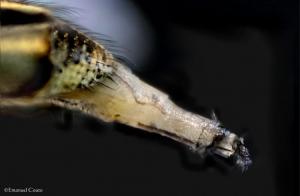 Outros/Orgão reprodutor de uma pequena mosca.