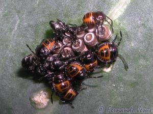Macro/Infantário de escaravelhos