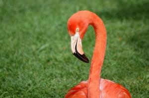 Animais/flamingo 1