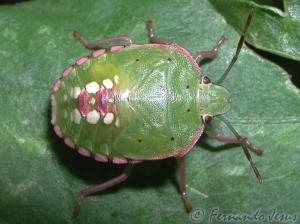 Macro/Um escaravelho bem colorido
