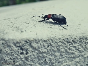 /Escaravelho-de-pescoço-vermelho