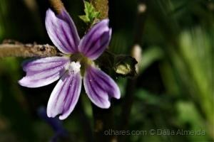 Macro/Malva lilás