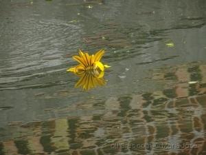 Paisagem Natural/Uma flor na água