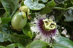 /Flor de Maracujá e seu Fruto