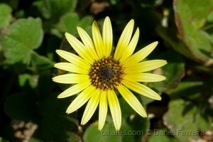 Macro/Flor amarela