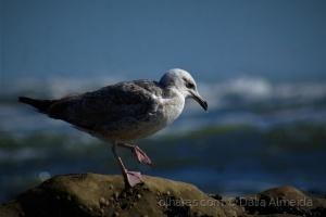 Animais/Gaivota na praia