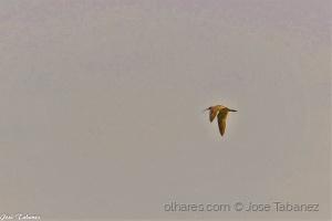 /Maçarico-galego (Numenius phaeopus)