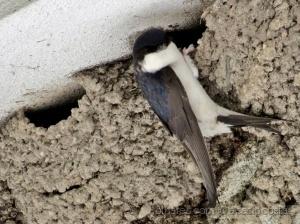 /Fazendo o ninho (andorinha-dos-beirais)