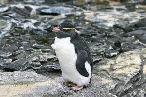 /Pinguim-saltador-da-rocha (ler)