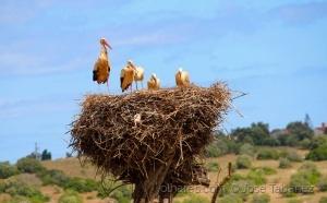/Cegonhas-brancas (Ciconia ciconia)