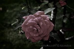 Macro/Uma rosa do meu jardim..