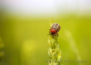 /Colorado Potato Beetle 2