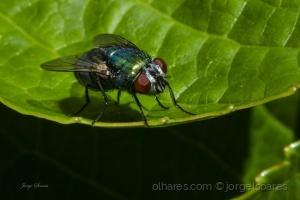 /A mosca