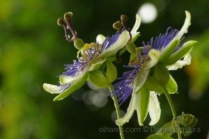 /Flor de Maracujá