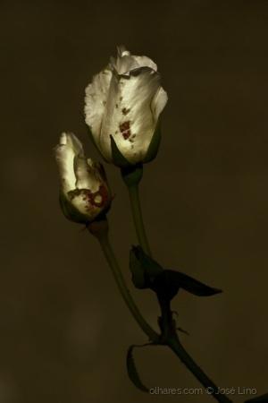 Outros/Rosas brancas