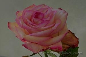 /Uma linda rosa