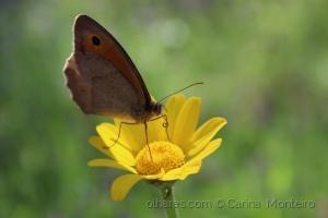 /A nossa borboleta castanha