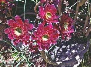 /Flores do cacto