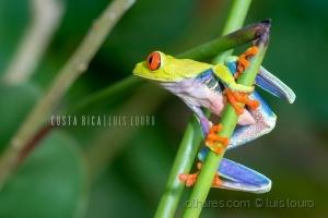 Animais/Red-eyed Treefrog