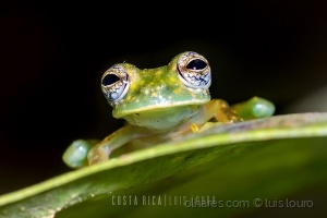 Macro/Spotted Glass Frog