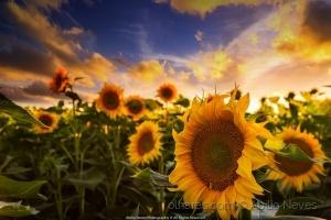 """Paisagem Natural/""""Sunflower"""""""