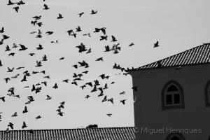 Animais/eram bandos de pombos à solta...