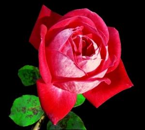 /Rosa bicolor