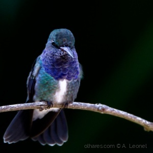 Animais/Beija-flor-de-peito-azul