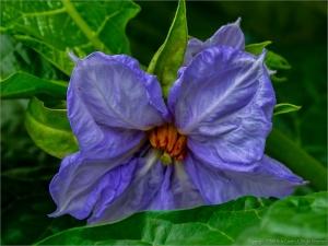 Outros/Flor do Jiló... (ler)