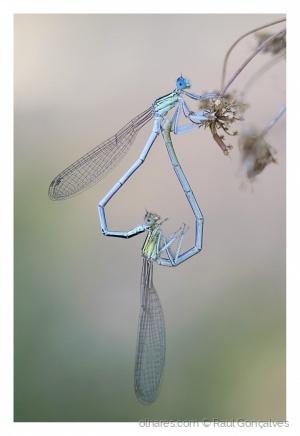 Macro/A reprodução das libélulas.