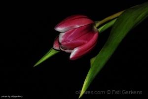 /Tulipa!