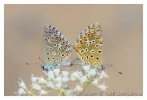 Macro/A reprodução das borboletas!
