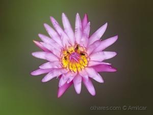 Outros/Flor de Lotus