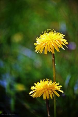 Macro/Amarelos são os campos....