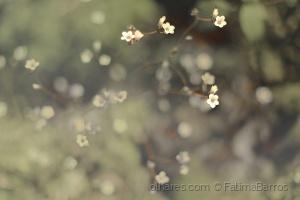 Paisagem Natural/Saxifraga Granulata