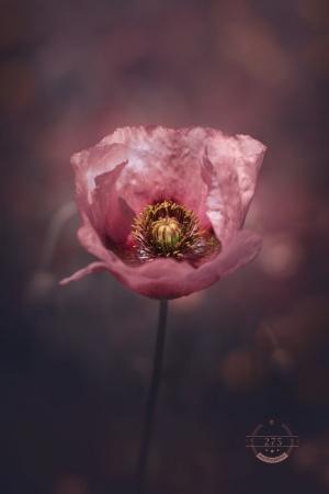 /Pink poppy