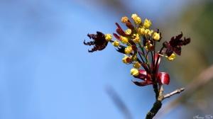 /Acer platanoides (Crimson King)