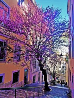 /Lisboa tem  Jacarandá