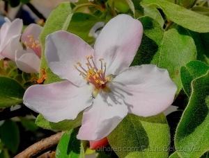 Macro/Flor de marmeleiro