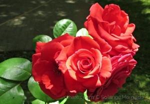 /A mais formosa é a Rosa (ler)