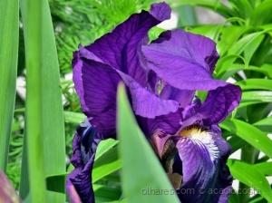 Macro/Semana santa-lírio roxo (Iris versiclor)