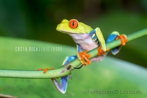 Animais/Red-Eyed tree Frog