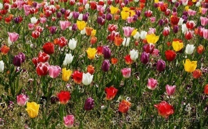 /mar de tulipas