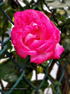 Outros/A Rosa que te dei - ouvir
