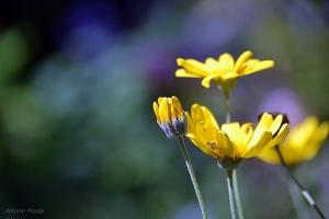 Macro/contraste amarelo