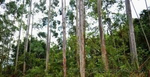 Paisagem Natural/Eucaliptos