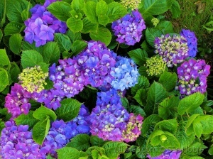 /Flores dos Açores