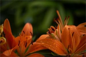 Macro/Flores que amo...lírios  (ler_